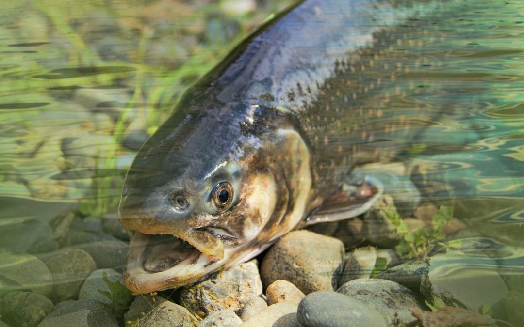 Salmon Poisoning in Dogs